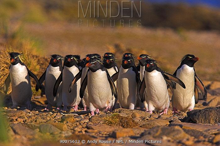 Rockhopper Penguin (Eudyptes chrysocome) flock walking back to colony, Falkland Islands  -  Andy Rouse/ npl
