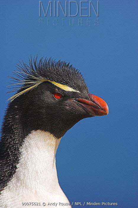 Rockhopper Penguin (Eudyptes chrysocome) portrait, Falkland Islands  -  Andy Rouse/ npl