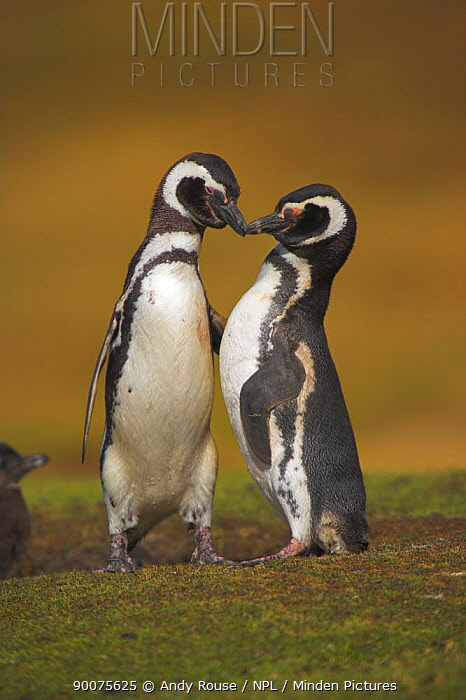 Magellanic Penguin (Spheniscus magellanicus) pair bonding on return to burrow, Falkland Islands  -  Andy Rouse/ npl