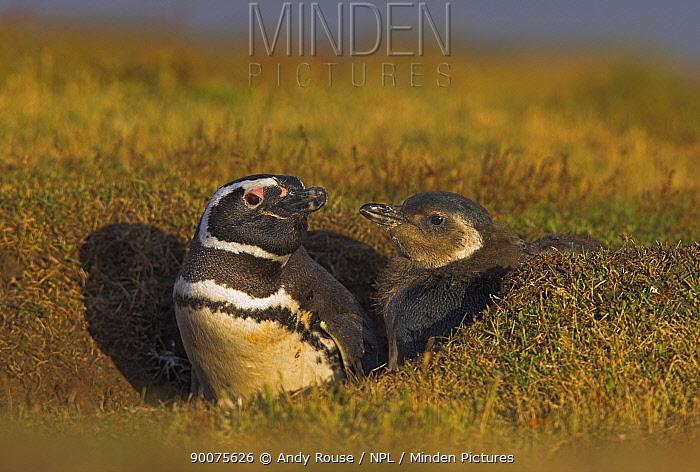 Magellanic Penguin (Spheniscus magellanicus) with chick at burrow, Falkland Islands  -  Andy Rouse/ npl