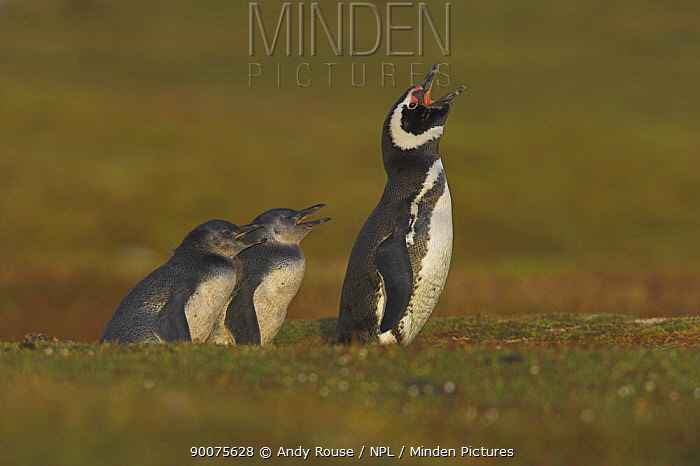 Magellanic Penguin (Spheniscus magellanicus) calling with chicks outside burrow, Falkland Islands  -  Andy Rouse/ npl