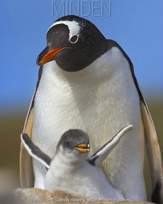 Gentoo Penguin (Pygoscelis papua) with chick, South Georgia Island  -  Andy Rouse/ npl