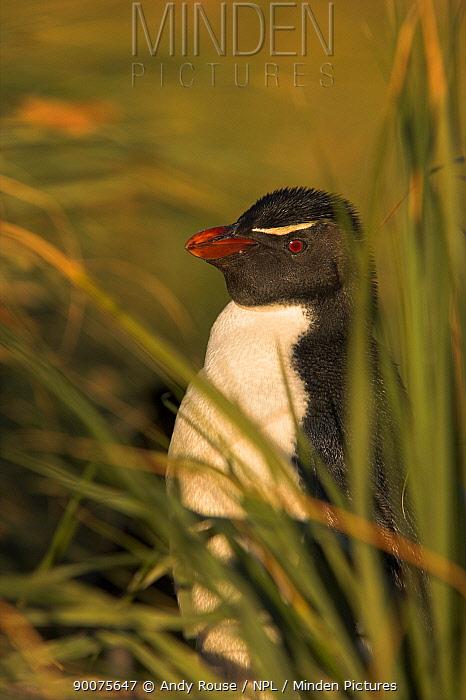 Rockhopper Penguin (Eudyptes chrysocome) nesting in grass, Falkland Islands  -  Andy Rouse/ npl