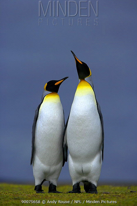 King Penguin (Aptenodytes patagonicus) male and female, courtship posture, Falkland Islands  -  Andy Rouse/ npl