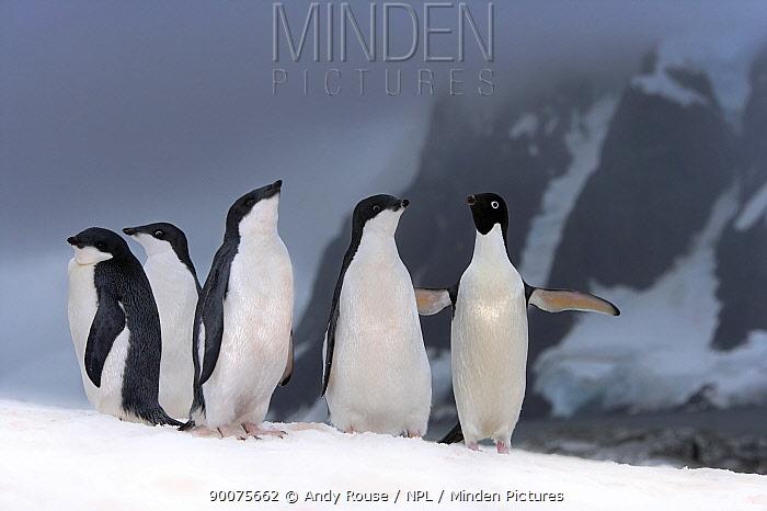 Adelie Penguin (Pygoscelis adeliae) adult with chicks, Petermann Island, Antarctica  -  Andy Rouse/ npl