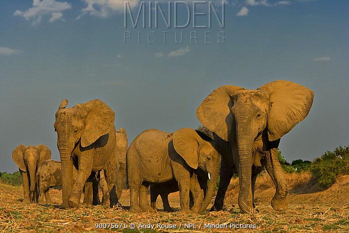 African Elephant (Loxodonta africana) breeding herd, South Luangwa, Zambia  -  Andy Rouse/ npl