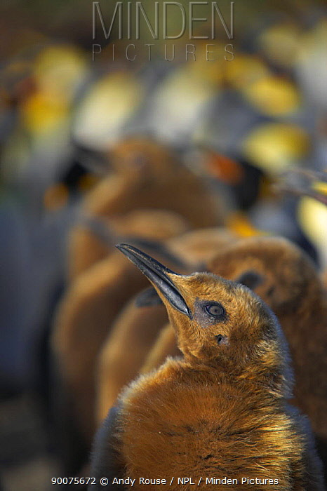 King Penguin (Aptenodytes patagonicus) chick in colony, Salisbury Plain, South Georgia Island  -  Andy Rouse/ npl