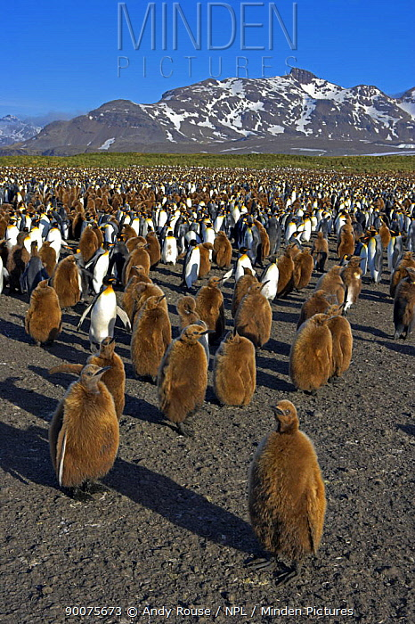 King Penguin (Aptenodytes patagonicus) large colony of chicks and adults, Salisbury Plain, South Georgia Island  -  Andy Rouse/ npl