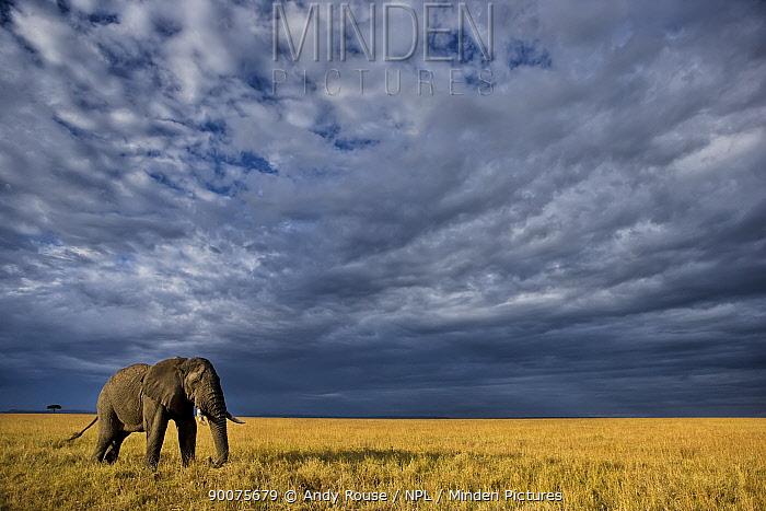 African Elephant (Loxodonta africana) bull crossing savanna, Masai Mara, Kenya  -  Andy Rouse/ npl