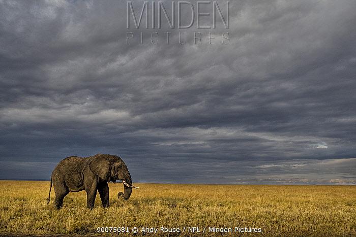African Elephant (Loxodonta africana) bull feeding on savanna, Masai Mara, Kenya  -  Andy Rouse/ npl