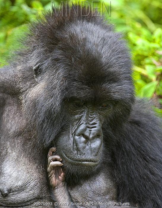 Mountain gorilla (Gorilla gorilla beringei) mother portrait with baby's hand reaching up to face, Volcanoes NP, Virunga mountains, Rwanda (non-ex)  -  Andy Rouse/ npl