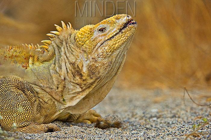 Galapagos, Ecuador Land Iguana (Conolophus subcristatus) in aggressive posture, Urbina Bay, Isabela Island, Galapagos, Ecuador  -  Andy Rouse/ npl