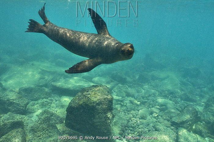 Galapagos sealion (Zalophus wollebaeki) underwater, Galapagos (non-ex)  -  Andy Rouse/ npl