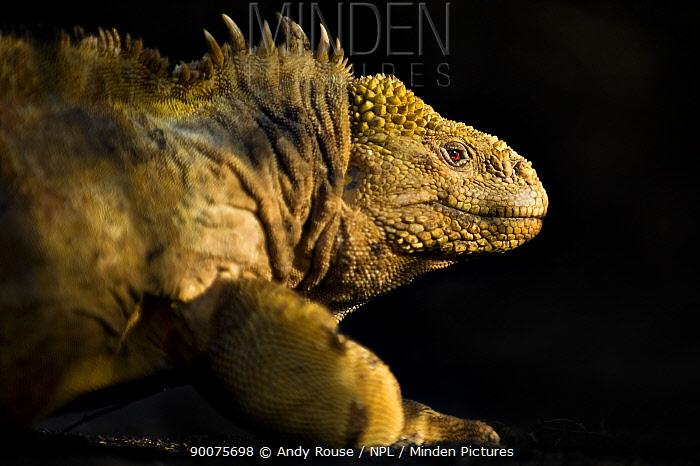 Galapagos, Ecuador Land Iguana (Conolophus subcristatus) Urbina Bay, Isabela Island, Galapagos, Ecuador  -  Andy Rouse/ npl