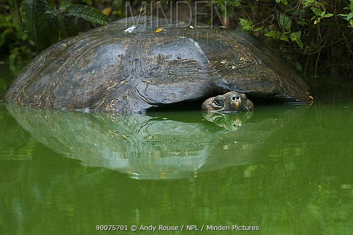 Galapagos giant tortoise (Geocheline nigra, Geochelone elephantopus) adult partially submerged in pond, Santa Cruz, Galapagos (non-ex)  -  Andy Rouse/ npl
