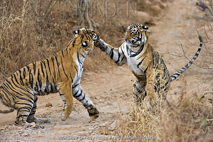 Bengal Tiger (Panthera tigris tigris) female fighting with 18 month cub, they fight when it is time for the cubs to move on and find their own territory, India  -  Andy Rouse/ npl