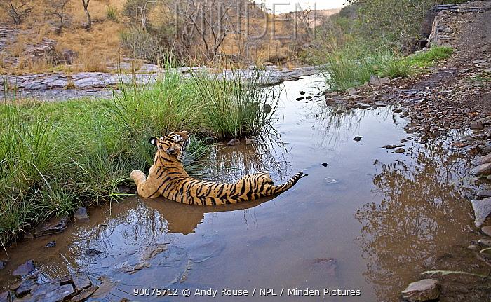 Bengal Tiger (Panthera tigris tigris) female lying in pond, Ranthambore National Park, Rajasthan, India  -  Andy Rouse/ npl