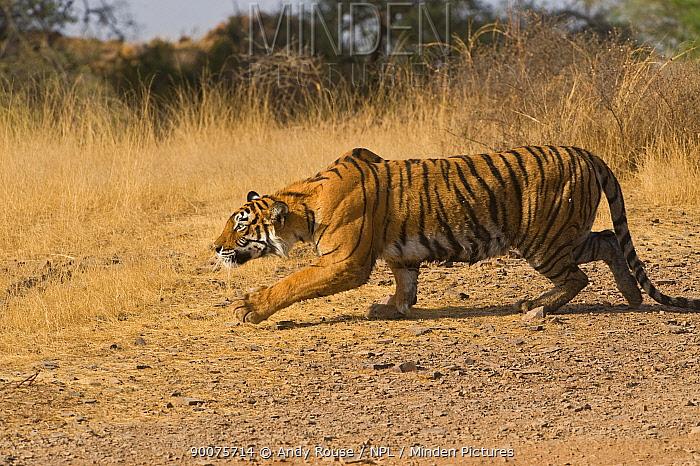Bengal Tiger (Panthera tigris tigris) stalking deer, Ranthambore National Park, Rajasthan, India, sequence 2, 5  -  Andy Rouse/ npl