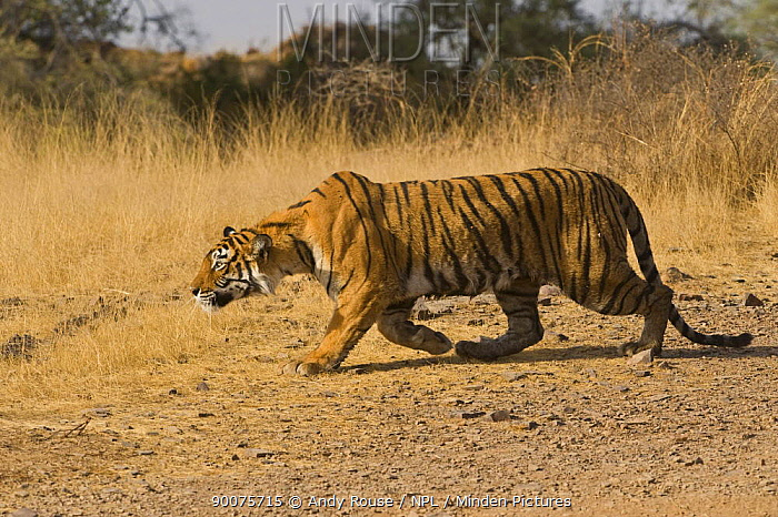 Bengal Tiger (Panthera tigris tigris) stalking deer, Ranthambore National Park, Rajasthan, India, sequence 3, 5  -  Andy Rouse/ npl