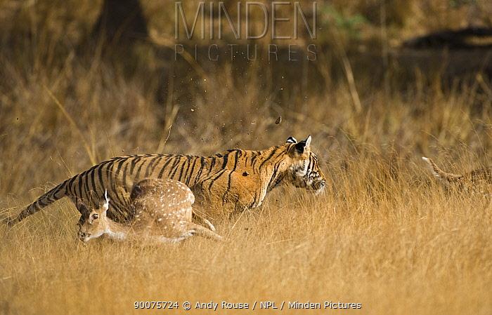 Bengal Tiger (Panthera tigris tigris) female charging at Sambar deer and deer running away, Ranthambore National Park, Rajasthan, India  -  Andy Rouse/ npl