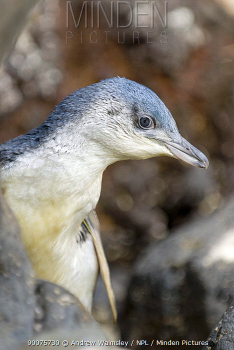 Little blue, fairy penguin, white flippered morph (Eudyptula albosignata albosignata) portrait, Bank's Peninsula, South Island, New Zealand, January  -  Andrew Walmsley/ npl