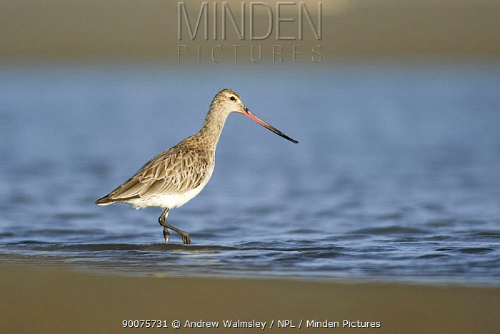 Bar-tailed Godwit (Limosa lapponica) feeding in an estuary, Christchurch, South Island, New Zealand  -  Andrew Walmsley/ npl