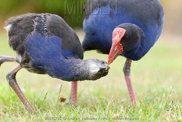 Pukeko (Porphyrio porphyrio melanotus) foraging and feeding a juvenile, Christchurch, South Island, New Zealand  -  Andrew Walmsley/ npl