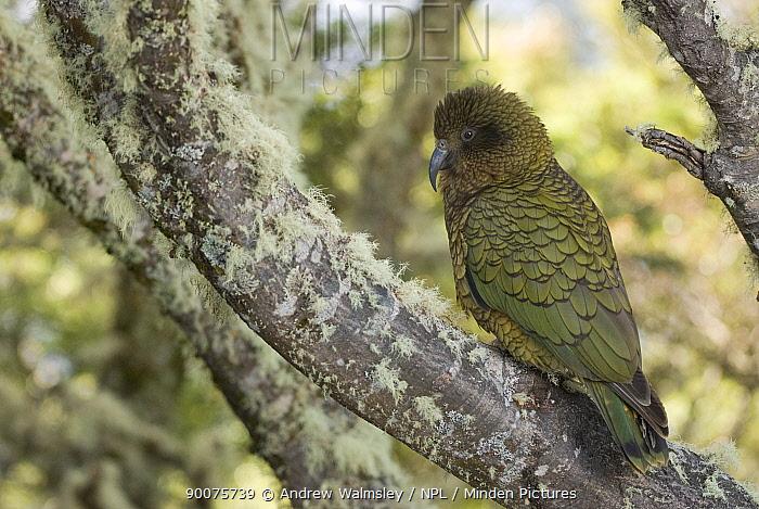 Kea (Nestor notabilis) perched in tree in native bush, Arthur's Pass, South Island, New Zealand  -  Andrew Walmsley/ npl