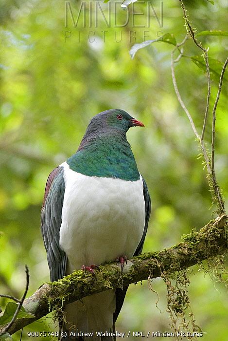 New Zealand pigeon (Hemiphaga novaeseelandiae) perched in native forest, Westland national park, South Island, New Zealand, October  -  Andrew Walmsley/ npl