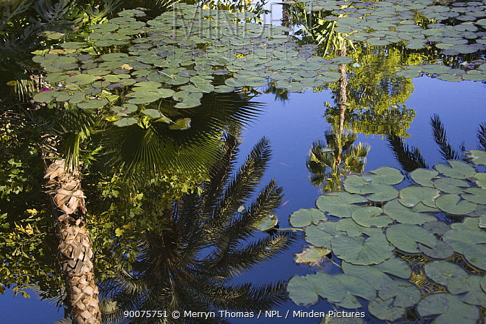 Palm tree reflections in lily pond, Yves Saint Laurent's garden, Marrakech, Morocco, November 2008  -  Merryn Thomas/ npl