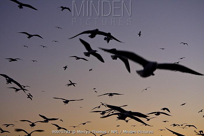 Seagulls flying above Essaouira fishing port at sunset, Morocco November 2008  -  Merryn Thomas/ npl