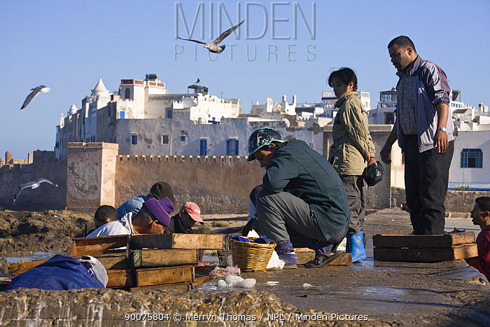 Men and children sorting fish on wall of fishing port, with the medina in the background Essaouira, Morocco, November 2008  -  Merryn Thomas/ npl