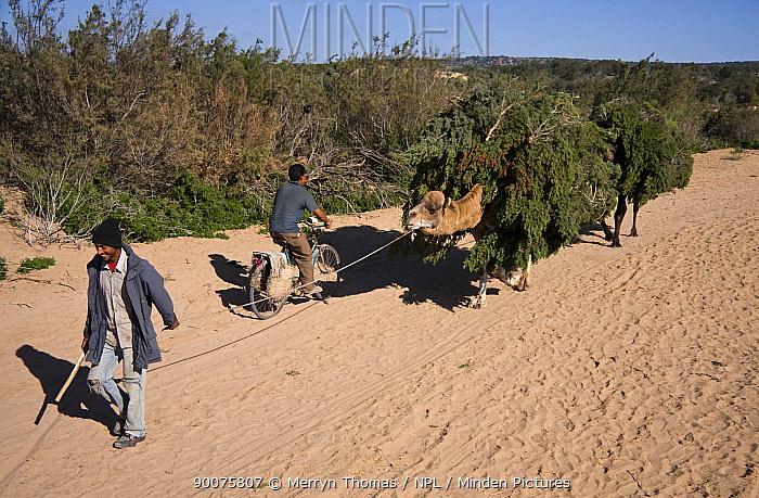 Dromedary (Camelus dromedarius) pair led by man loaded with foliage in the dunes behind Essaouira beach, Morocco  -  Merryn Thomas/ npl