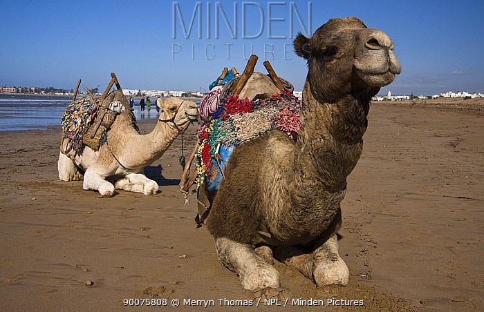 Dromedary (Camelus dromedarius) pair waiting to give tourists a ride on Essaouira beach, Morocco  -  Merryn Thomas/ npl
