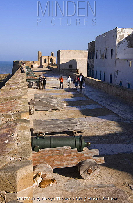 Two dogs resting behind a cannon, Essaouira fort and medina, Morocco November 2008  -  Merryn Thomas/ npl