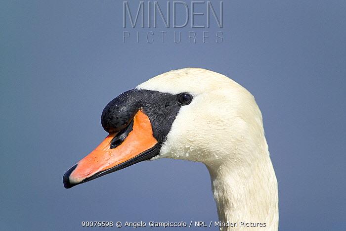 Mute Swan (Cygnus olor) male close up of head Bracciano lake, Lazio, Italy  -  Angelo Giampiccolo/ npl