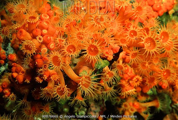Golden cup coral (Astroides calycularis) off Ponza, Bay of Naples, Italy  -  Angelo Giampiccolo/ npl