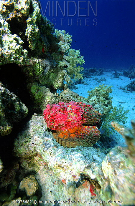 Stonefish (Synanceja sp), Safaga, Egypt, Red Sea  -  Angelo Giampiccolo/ npl