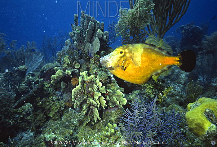 Whitespotted filefish (Cantherhines macroceros) amongst corals, Belize Cayes, Caribbean  -  Angelo Giampiccolo/ npl