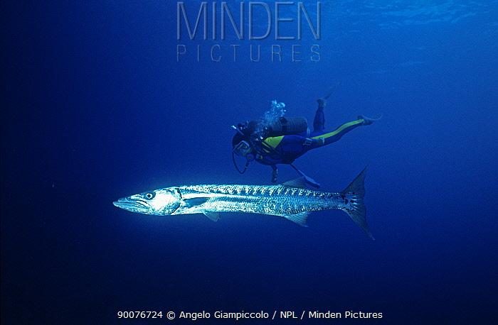 Great Barracuda (Sphyraena barracuda) with diver, Belize Cayes, Caribbean  -  Angelo Giampiccolo/ npl