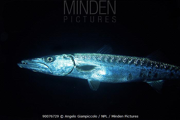 Great Barracuda (Sphyraena barracuda) at night, Belize Cayes, Caribbean  -  Angelo Giampiccolo/ npl