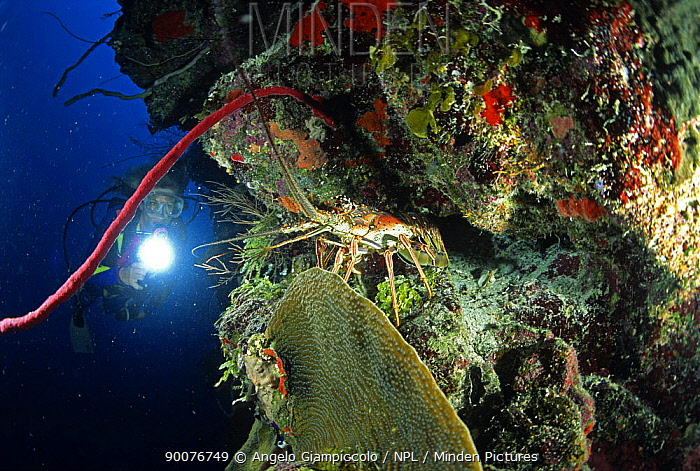 Diver watching Spiny lobster (Panulirus argus) in a rock wall, Belize Cayes, Caribbean  -  Angelo Giampiccolo/ npl