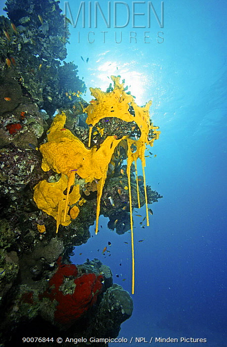 Yellow sponges reproducing, Sanghaneb Reef, in the Red Sea, Sudan  -  Angelo Giampiccolo/ npl