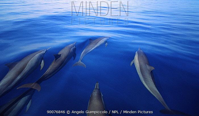 Pantropical Spotted Dolphin (Stenella attenuata) off Shaab Rumi, Sudan, Red Sea  -  Angelo Giampiccolo/ npl
