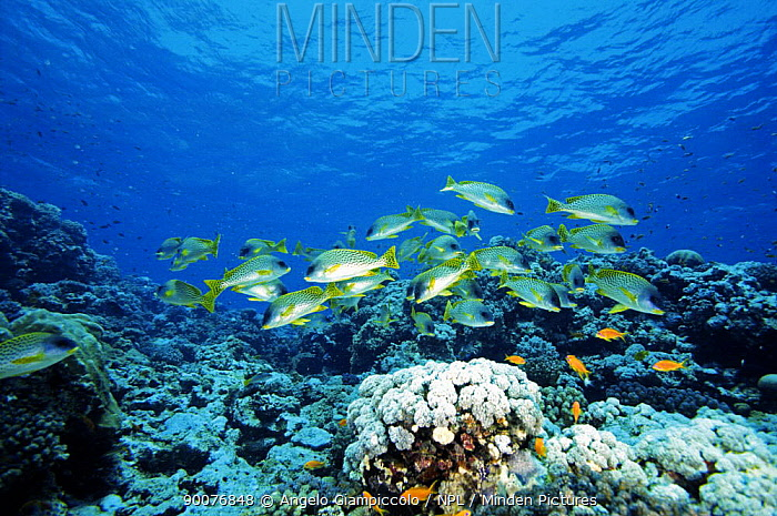 Diagonal-banded Sweetlips (Plectorhinchus lineatus) fish, Shaab Rumi, Sudan, Red Sea  -  Angelo Giampiccolo/ npl