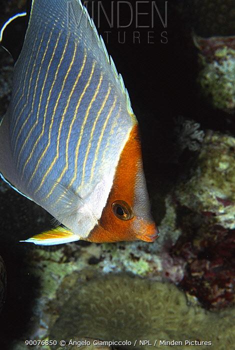 Orange face butterflyfish (Chaetodon larvatus) at night, Sanghaneb Reef, Sudan, Red Sea  -  Angelo Giampiccolo/ npl