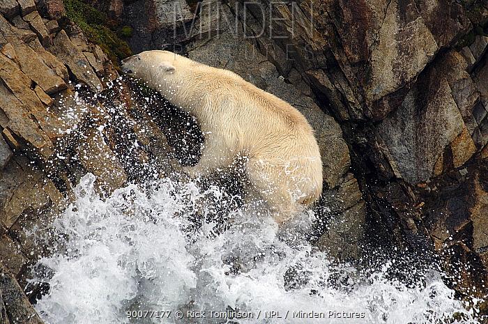 Polar Bear (Ursus maritimus) on rocky coastline, Spitsbergen, Norway  -  Rick Tomlinson/ npl