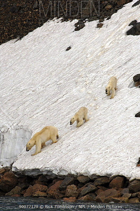 Polar Bear (Ursus maritimus) with two cubs descending a steep, icy slope to the water's edge, Spitsbergen, Norway  -  Rick Tomlinson/ npl