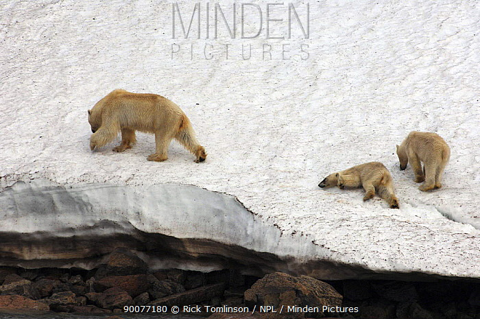Polar Bear (Ursus maritimus) with two cubs, one struggling, on icy slope at water's edge, Spitsbergen, Norway  -  Rick Tomlinson/ npl