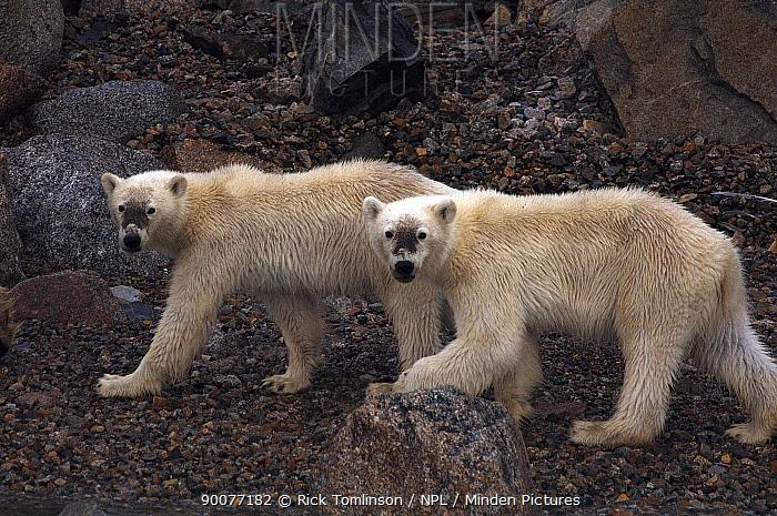 Polar Bear (Ursus maritimus) young on rocky coastline, Spitsbergen, Norway  -  Rick Tomlinson/ npl